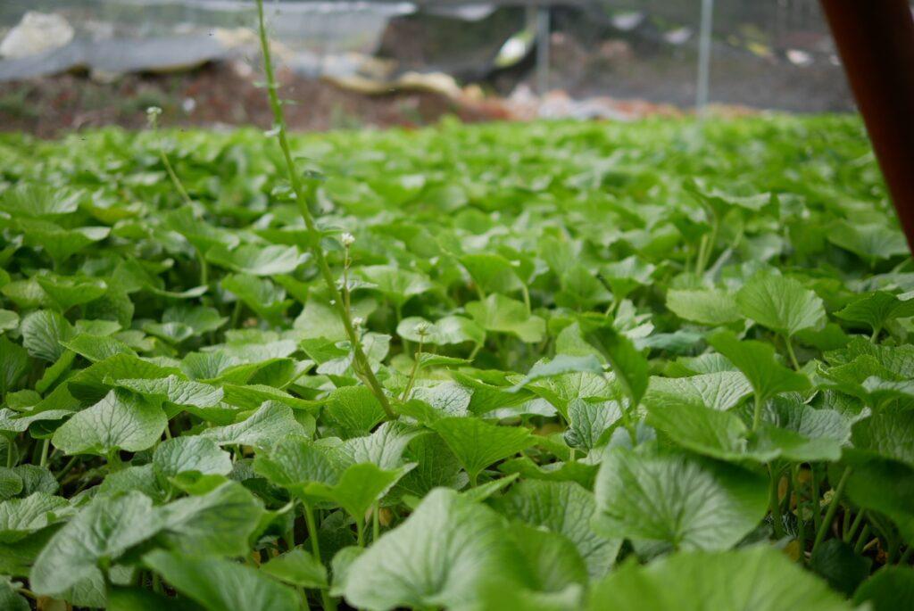 猪頭湧水群の山葵